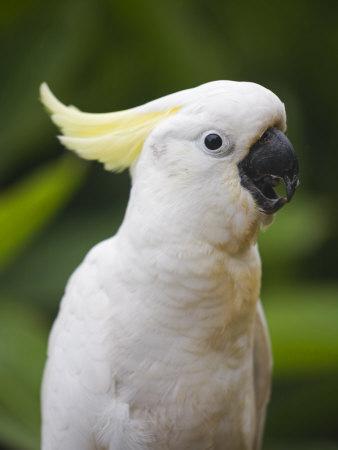 watson-andrew-queensland-brisbane-sulphur-crested-cockatoo-australia